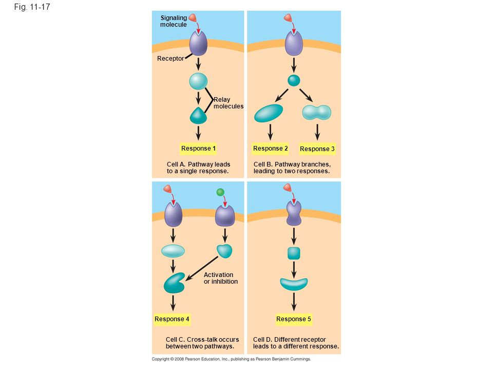 Fig. 11-17 Signaling molecule Receptor Relay molecules Response 1 Cell A. Pathway leads to a single response. Response 2 Response 3 Cell B. Pathway br