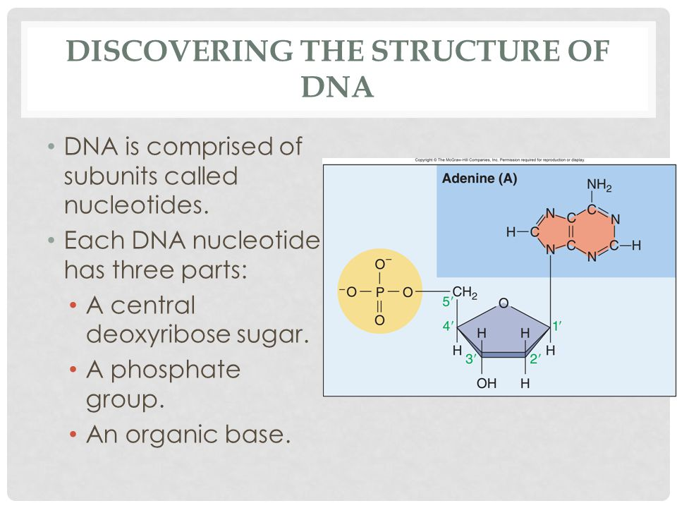 DISCOVERING THE STRUCTURE OF DNA DNA is comprised of subunits called nucleotides.