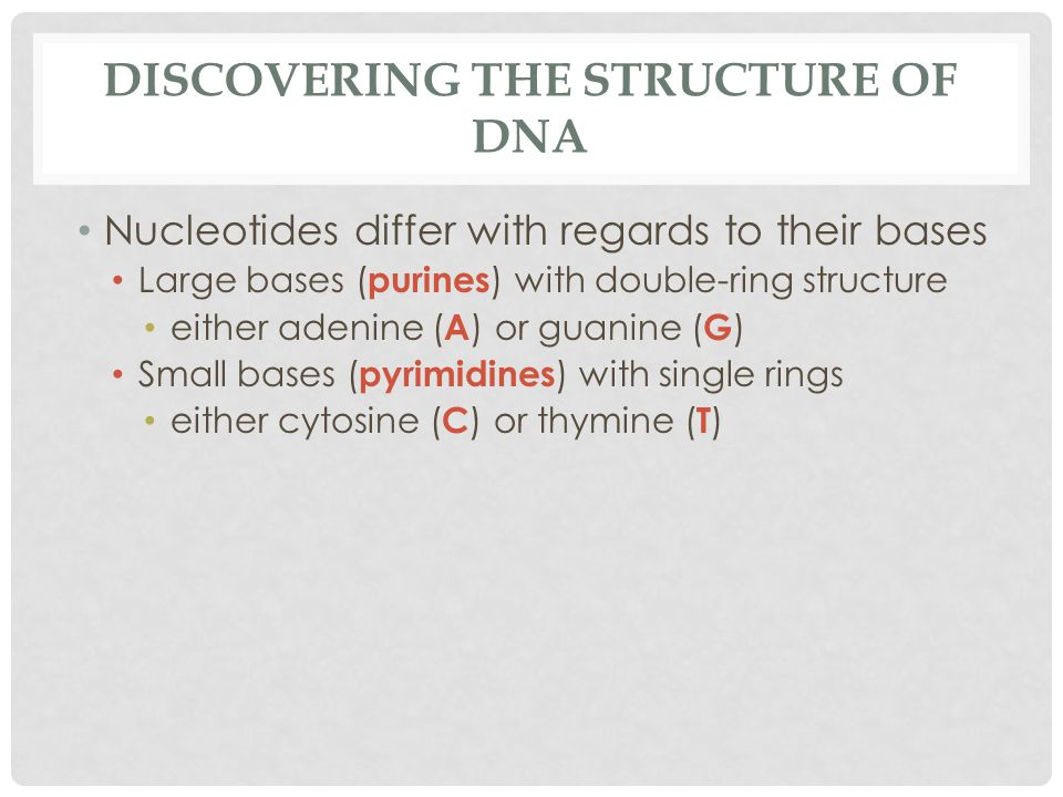 DISCOVERING THE STRUCTURE OF DNA Nucleotides differ with regards to their bases Large bases ( purines ) with double-ring structure either adenine ( A ) or guanine ( G ) Small bases ( pyrimidines ) with single rings either cytosine ( C ) or thymine ( T )