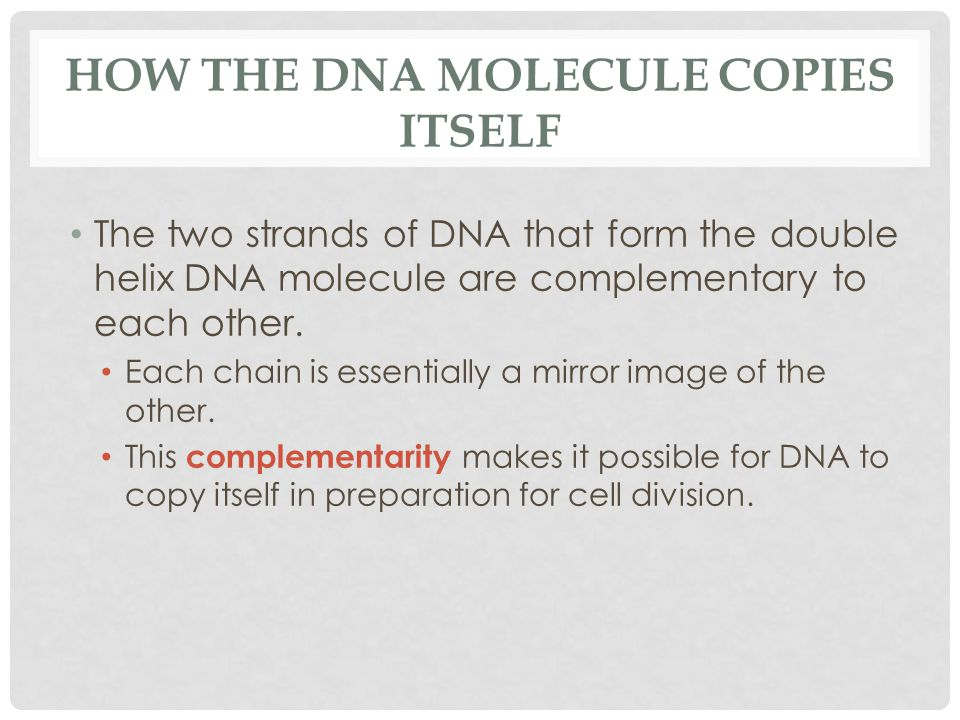 HOW THE DNA MOLECULE COPIES ITSELF The two strands of DNA that form the double helix DNA molecule are complementary to each other.