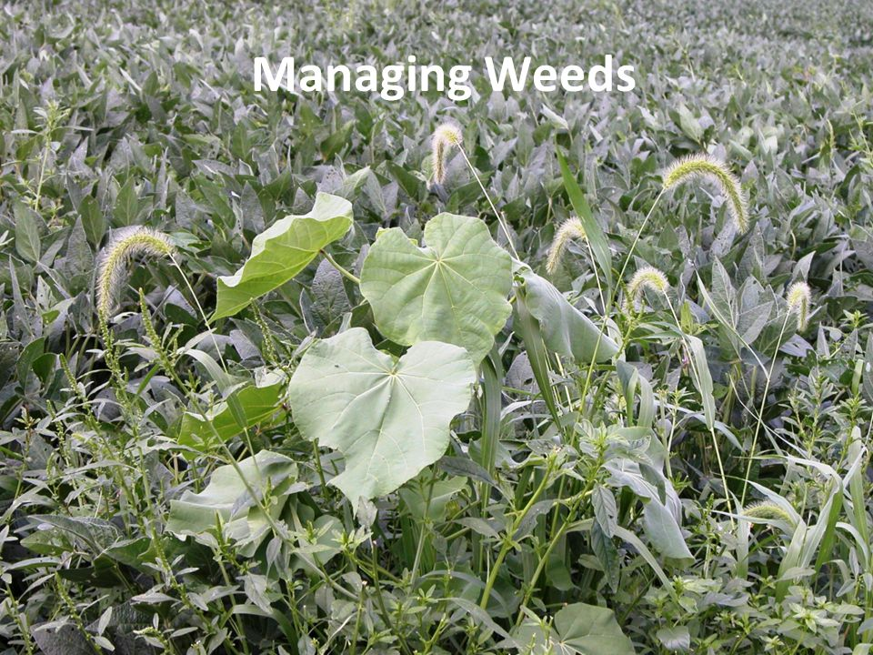 Herbicide Decisions Postemergence herbicides Target weed species not controlled by soil applications Some control weeds emerged at the time of application Others control emerged weeds and provide residual activity against later emerging weeds