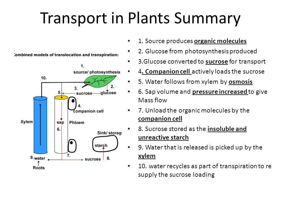Transport in Plants Summary 1. Source produces organic molecules 2. Glucose from photosynthesis produced 3.Glucose converted to sucrose for transport