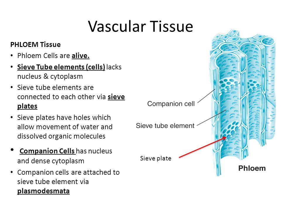Vascular Tissue PHLOEM Tissue Phloem Cells are alive. Sieve Tube elements (cells) lacks nucleus & cytoplasm Sieve tube elements are connected to each