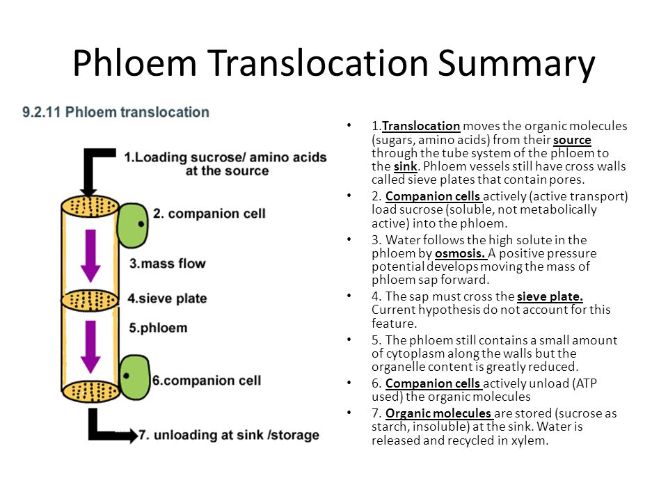 Phloem Translocation Summary 1.Translocation moves the organic molecules (sugars, amino acids) from their source through the tube system of the phloem