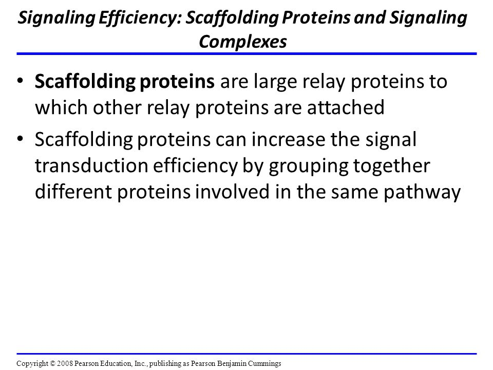 Signaling Efficiency: Scaffolding Proteins and Signaling Complexes Scaffolding proteins are large relay proteins to which other relay proteins are attached Scaffolding proteins can increase the signal transduction efficiency by grouping together different proteins involved in the same pathway Copyright © 2008 Pearson Education, Inc., publishing as Pearson Benjamin Cummings