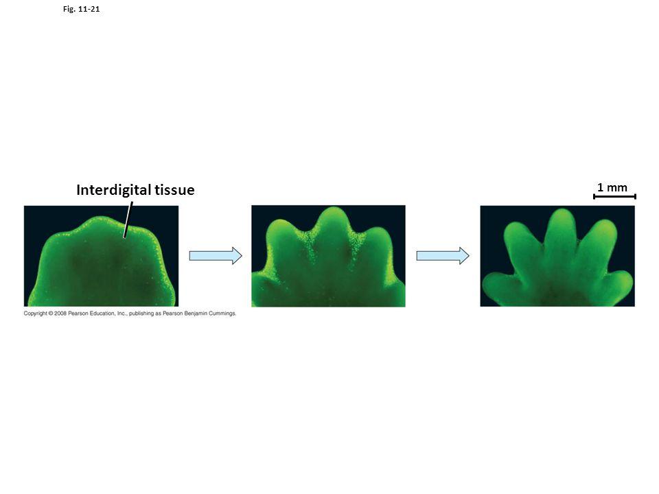 Fig. 11-21 Interdigital tissue 1 mm