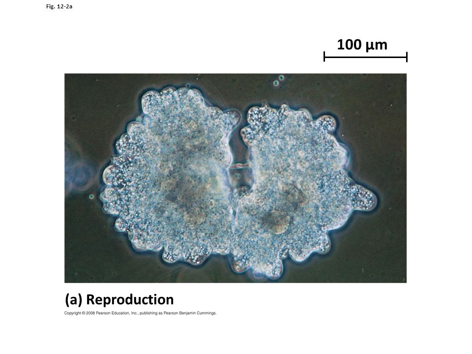 Fig. 12-2a 100 µm (a) Reproduction