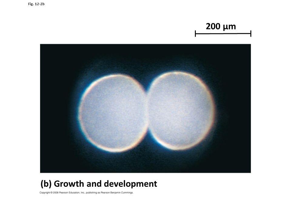 Fig. 12-2b 200 µm (b) Growth and development