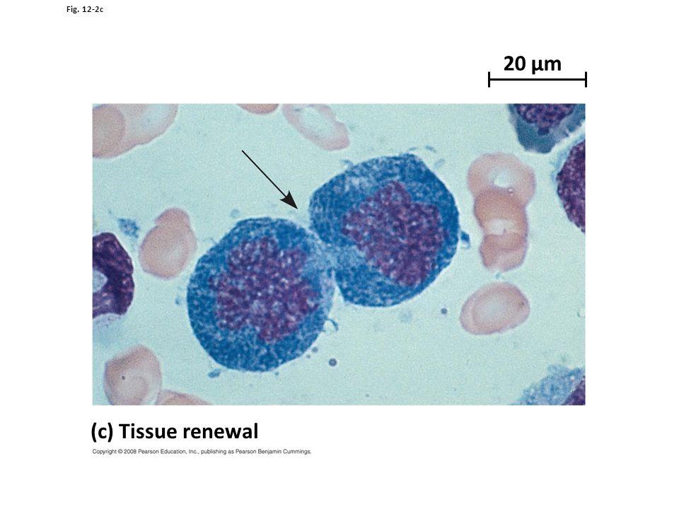 Fig. 12-2c 20 µm (c) Tissue renewal