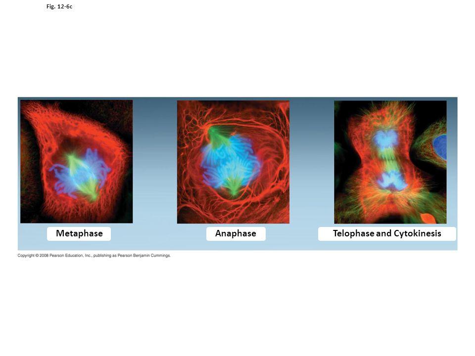 Fig. 12-6c MetaphaseAnaphase Telophase and Cytokinesis