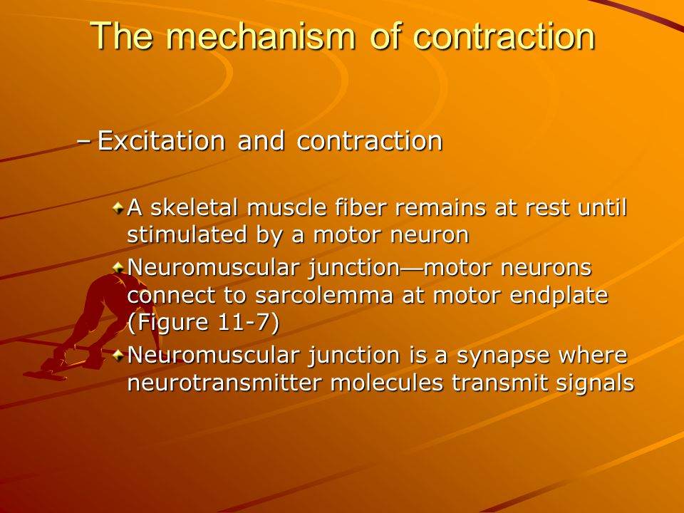 The mechanism of contraction –Excitation and contraction A skeletal muscle fiber remains at rest until stimulated by a motor neuron Neuromuscular junc