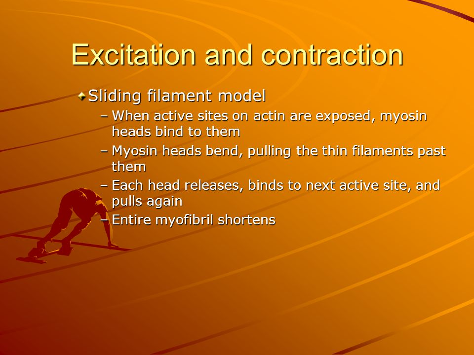 Excitation and contraction Sliding filament model –When active sites on actin are exposed, myosin heads bind to them –Myosin heads bend, pulling the t