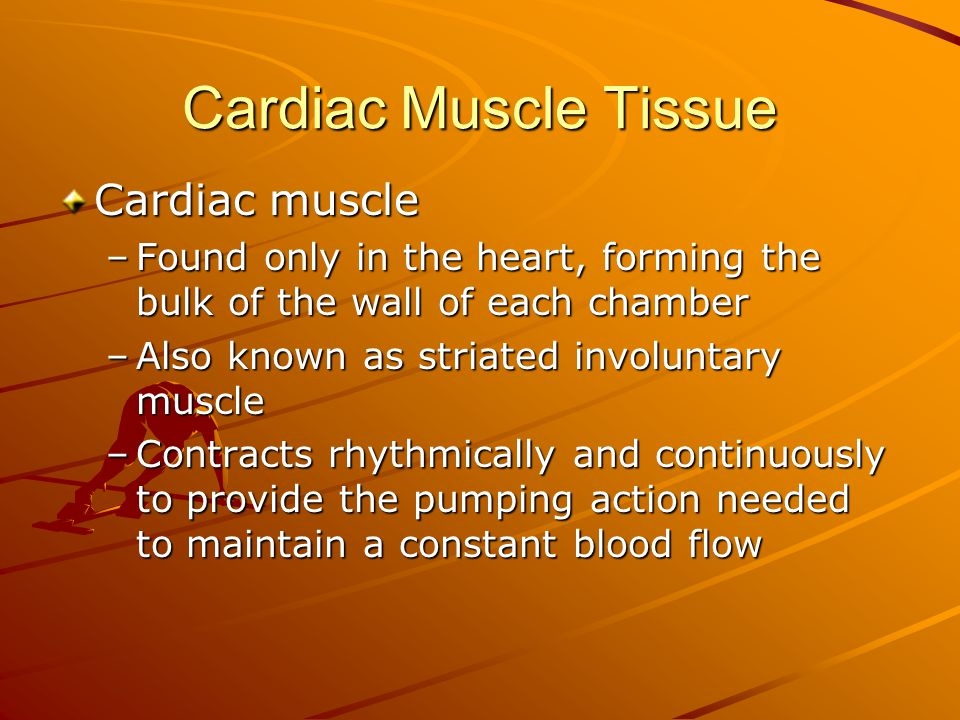 Cardiac Muscle Tissue Cardiac muscle –Found only in the heart, forming the bulk of the wall of each chamber –Also known as striated involuntary muscle