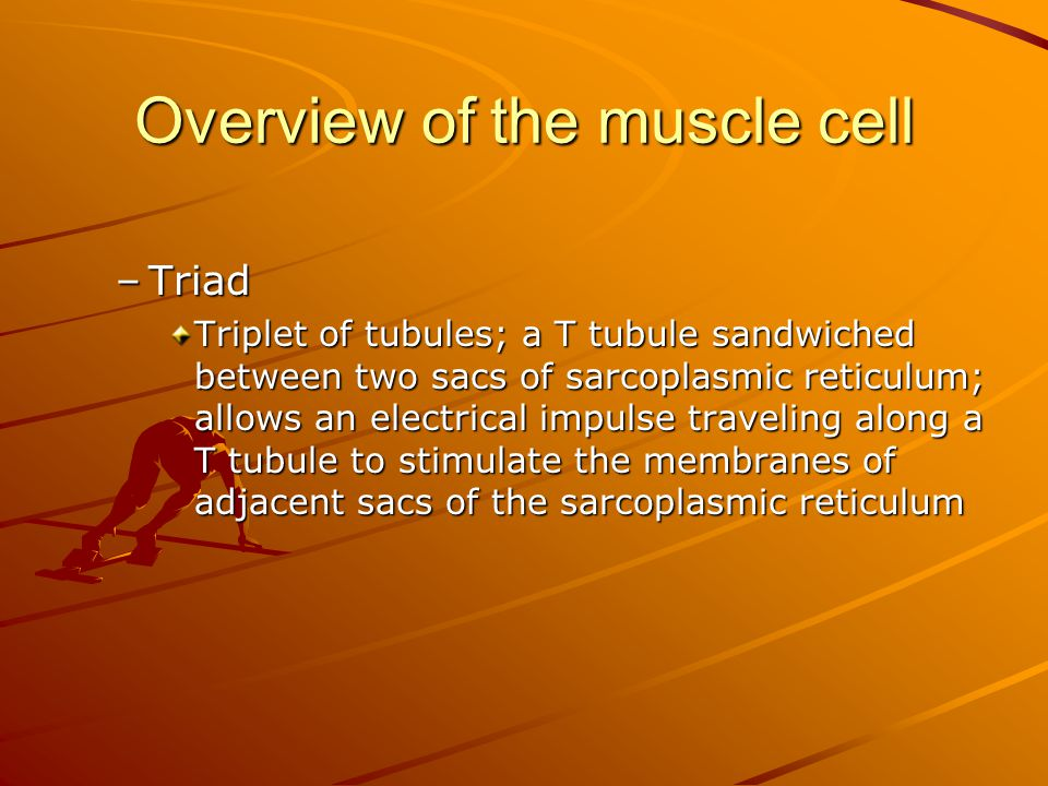 Overview of the muscle cell –Triad Triplet of tubules; a T tubule sandwiched between two sacs of sarcoplasmic reticulum; allows an electrical impulse