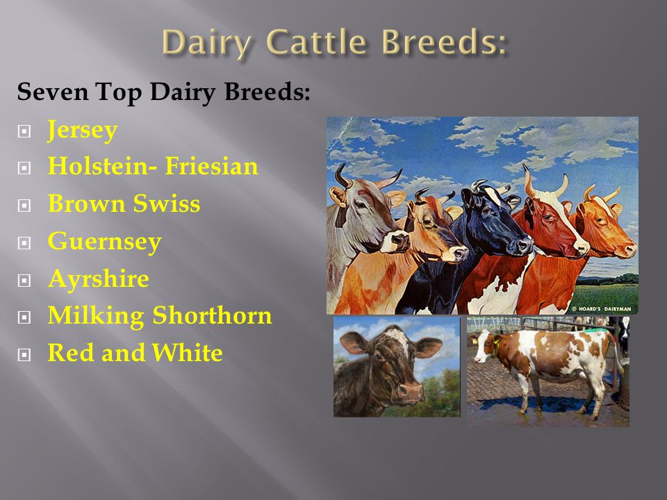 Seven Top Dairy Breeds:  Jersey  Holstein- Friesian  Brown Swiss  Guernsey  Ayrshire  Milking Shorthorn  Red and White