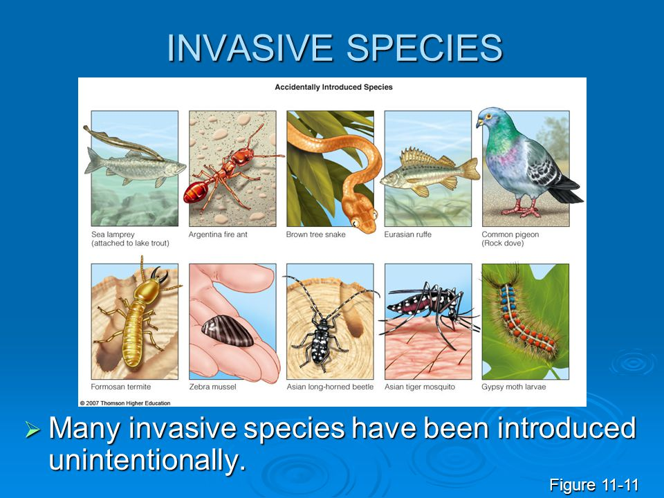 INVASIVE SPECIES  Many invasive species have been introduced unintentionally. Figure 11-11