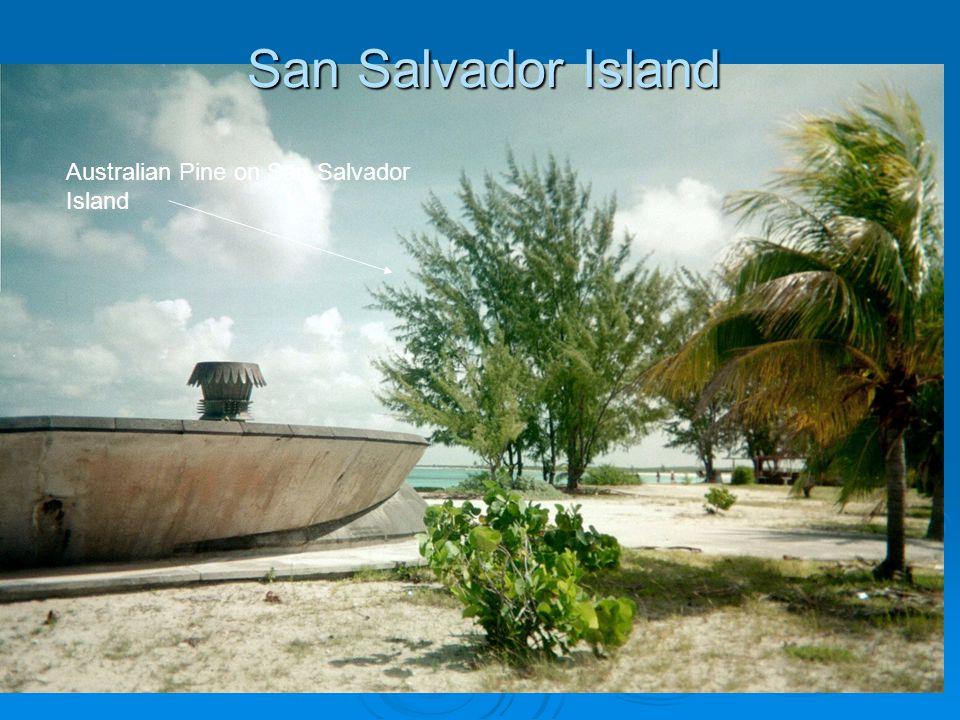 San Salvador Island Australian Pine on San Salvador Island