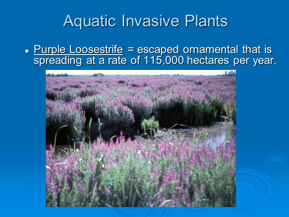 Aquatic Invasive Plants Purple Loosestrife = escaped ornamental that is spreading at a rate of 115,000 hectares per year.