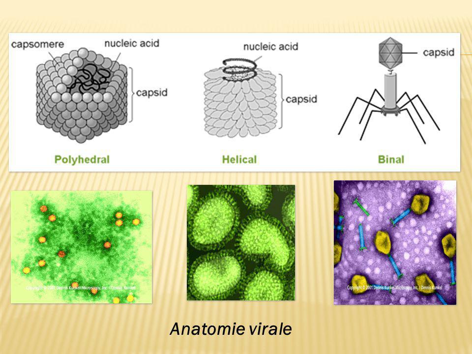 Anatomie virale