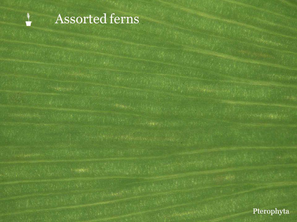  Assorted ferns Pterophyta