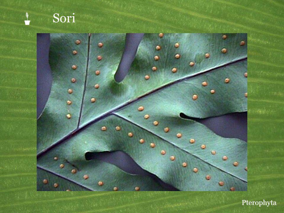  Sori Pterophyta