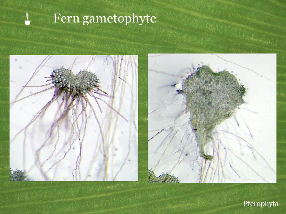 Fern gametophyte Pterophyta