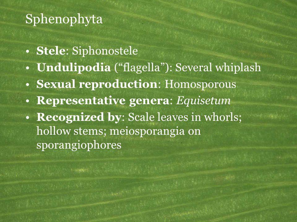 Sphenophyta Stele: Siphonostele Undulipodia ( flagella ): Several whiplash Sexual reproduction: Homosporous Representative genera: Equisetum Recognized by: Scale leaves in whorls; hollow stems; meiosporangia on sporangiophores