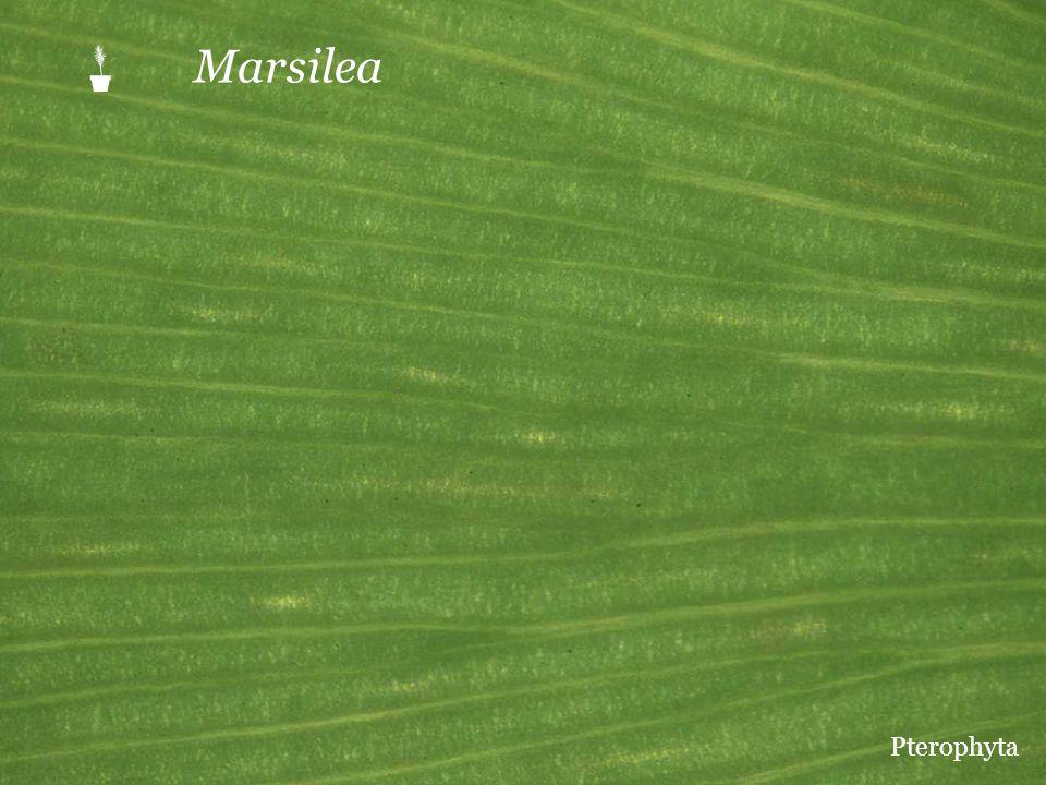  Marsilea Pterophyta
