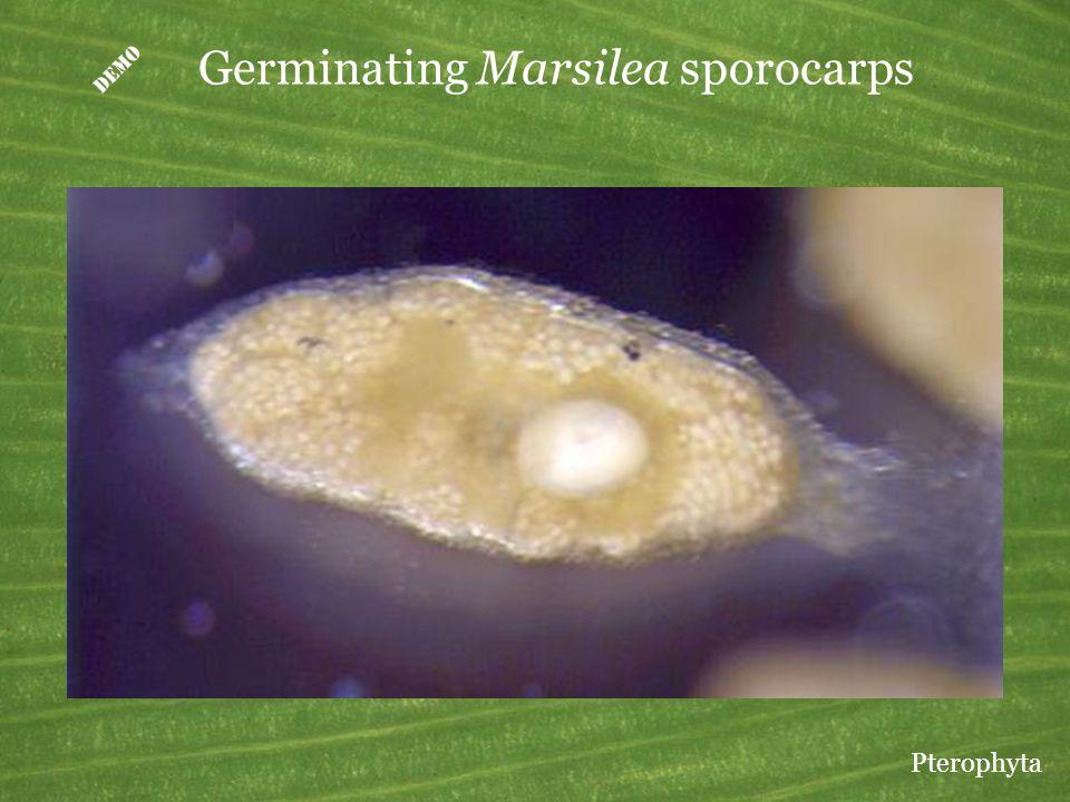  Germinating Marsilea sporocarps Pterophyta