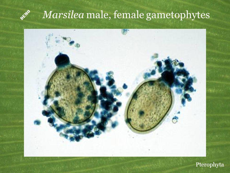  Marsilea male, female gametophytes Pterophyta