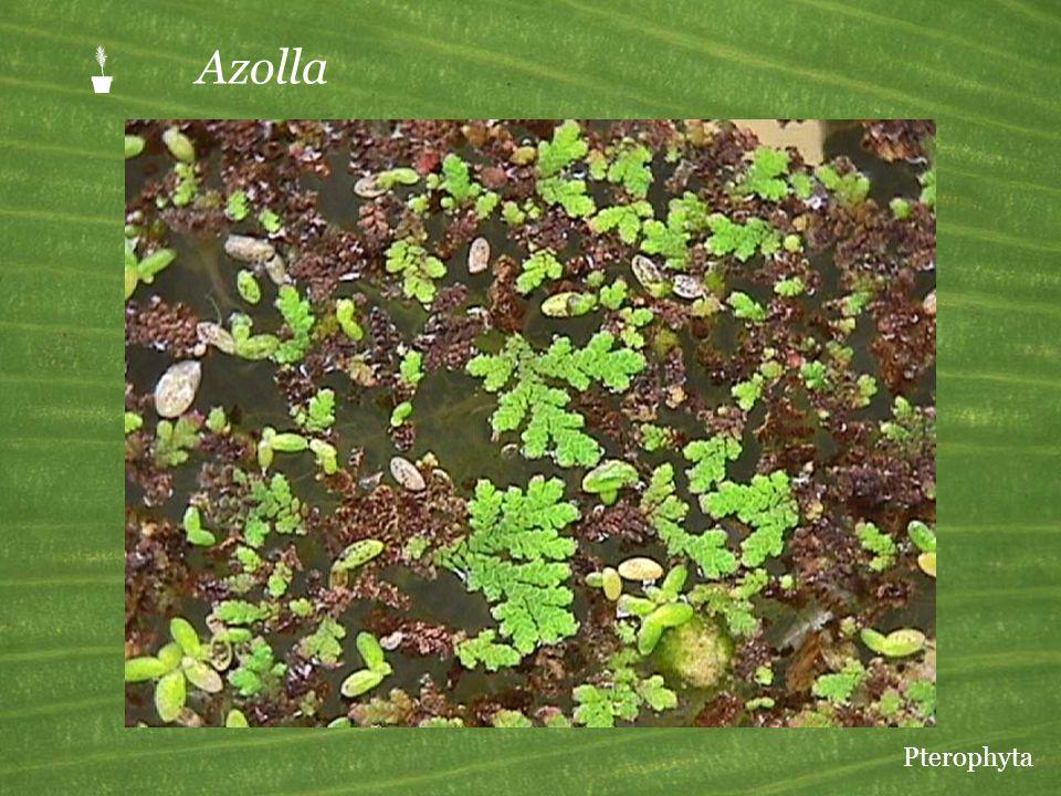  Azolla Pterophyta