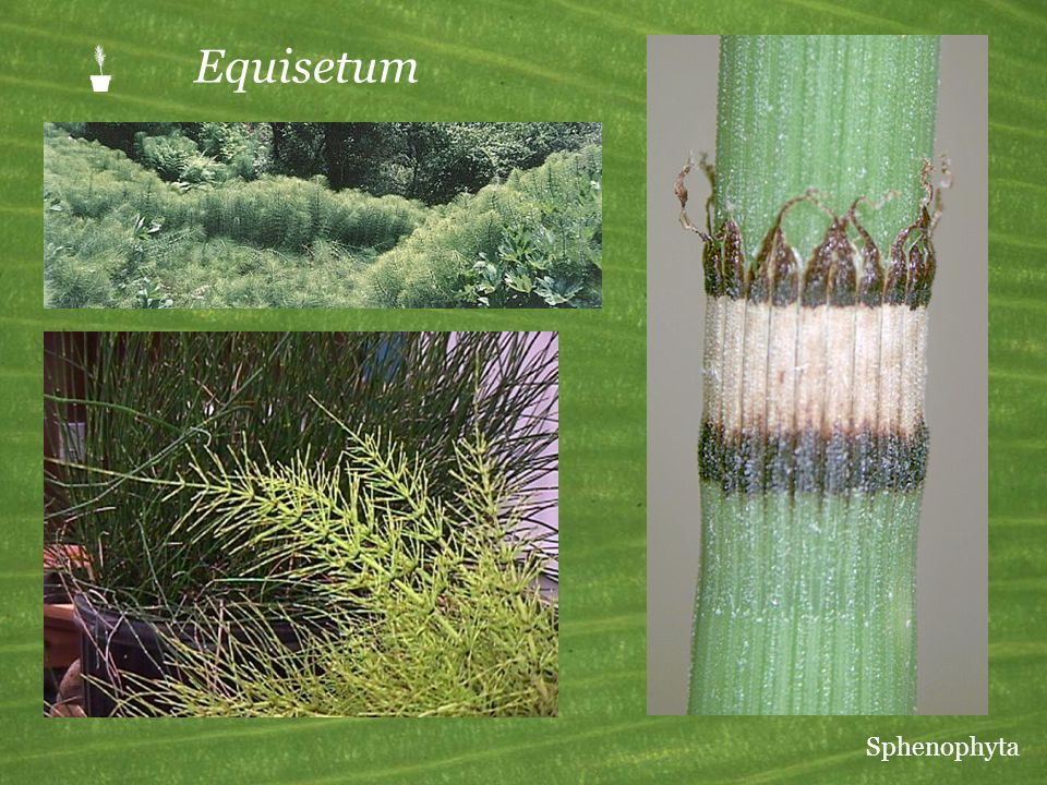  Equisetum Sphenophyta