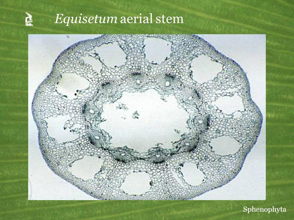  Equisetum aerial stem Sphenophyta
