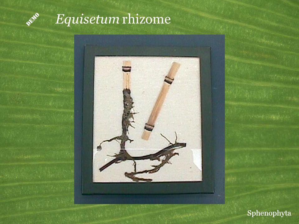  Equisetum rhizome Sphenophyta