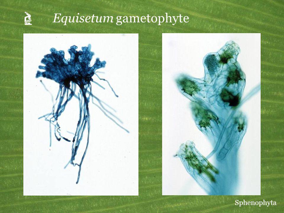  Equisetum gametophyte Sphenophyta