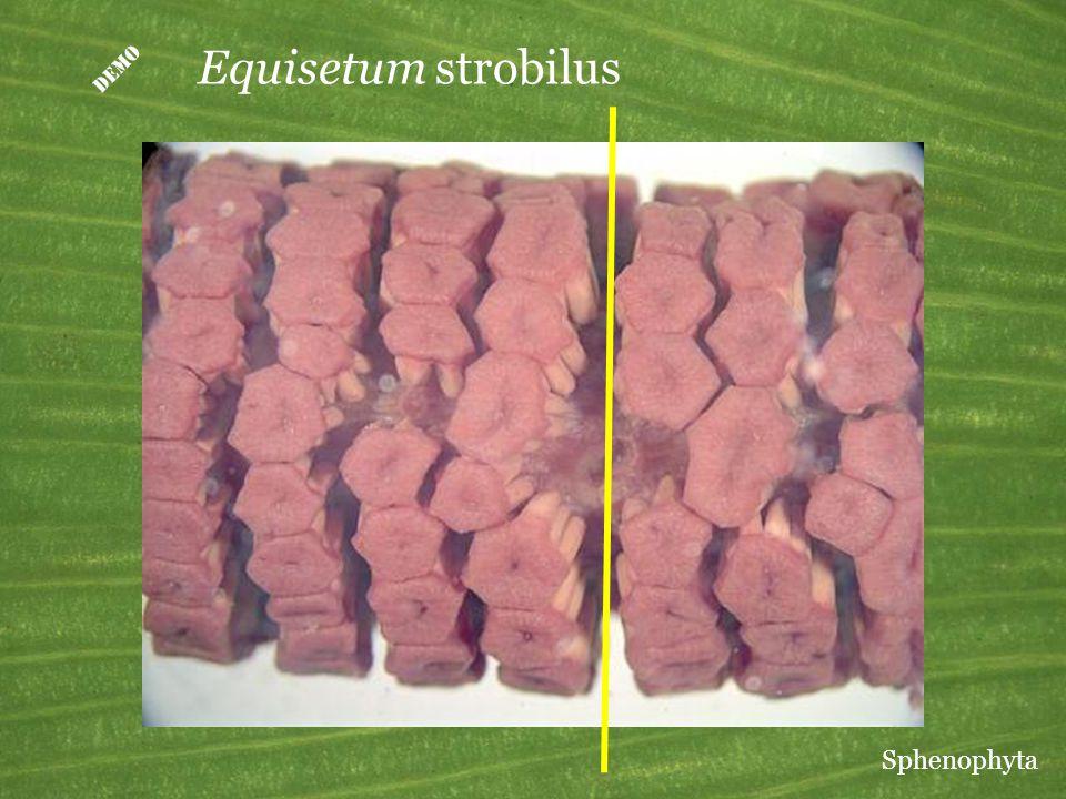  Equisetum strobilus Sphenophyta