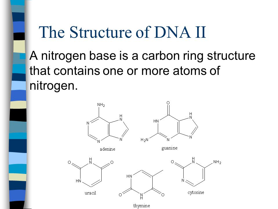 The Structure of DNA II A nitrogen base is a carbon ring structure that contains one or more atoms of nitrogen.