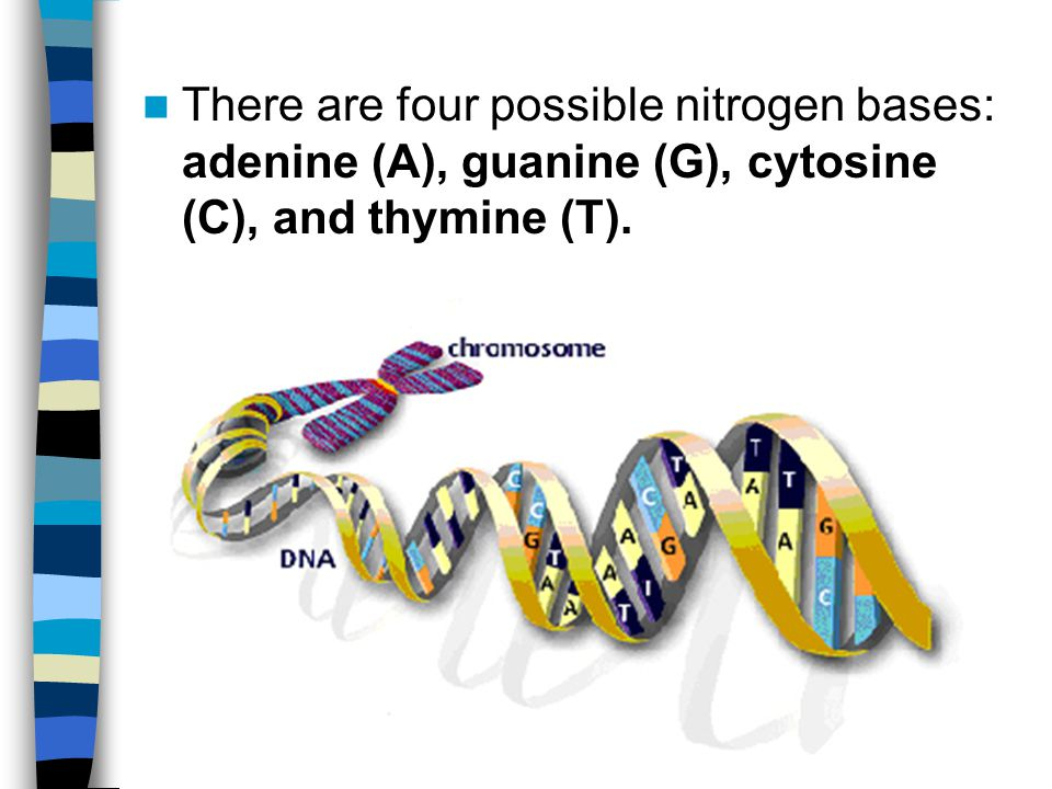 There are four possible nitrogen bases: adenine (A), guanine (G), cytosine (C), and thymine (T).