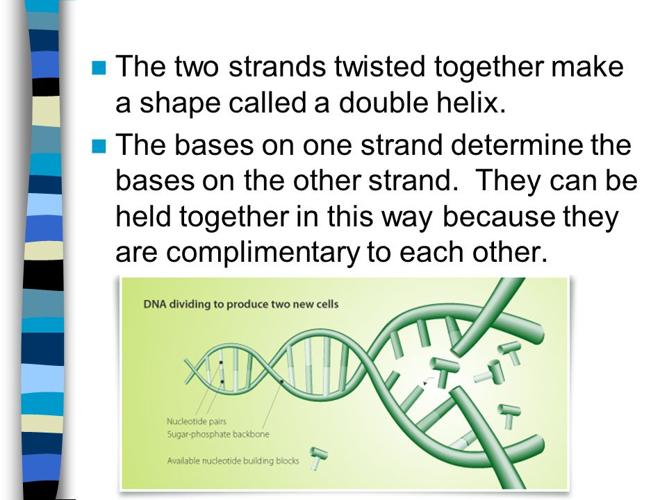The two strands twisted together make a shape called a double helix.