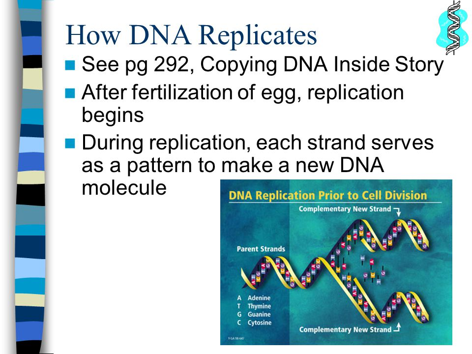 How DNA Replicates See pg 292, Copying DNA Inside Story After fertilization of egg, replication begins During replication, each strand serves as a pattern to make a new DNA molecule