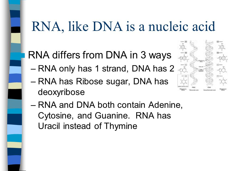RNA, like DNA is a nucleic acid RNA differs from DNA in 3 ways –RNA only has 1 strand, DNA has 2 –RNA has Ribose sugar, DNA has deoxyribose –RNA and DNA both contain Adenine, Cytosine, and Guanine.