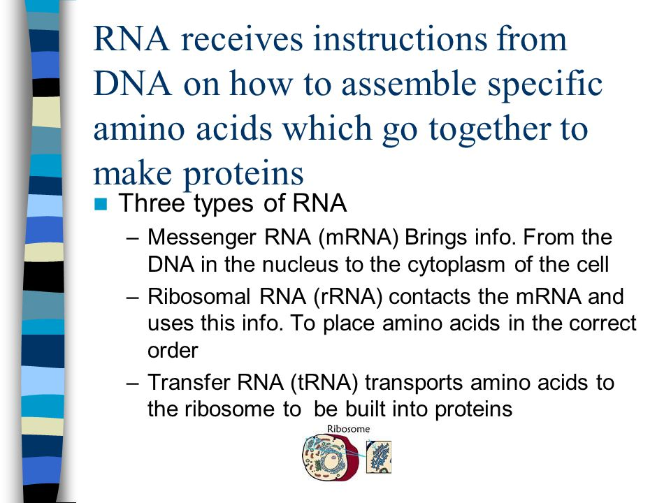 RNA receives instructions from DNA on how to assemble specific amino acids which go together to make proteins Three types of RNA –Messenger RNA (mRNA) Brings info.