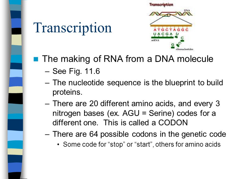 Transcription The making of RNA from a DNA molecule –See Fig.