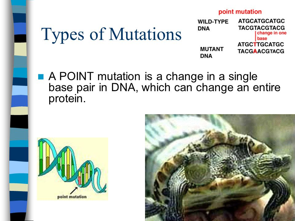 Types of Mutations A POINT mutation is a change in a single base pair in DNA, which can change an entire protein.