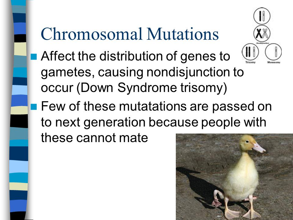 Chromosomal Mutations Affect the distribution of genes to gametes, causing nondisjunction to occur (Down Syndrome trisomy) Few of these mutatations are passed on to next generation because people with these cannot mate