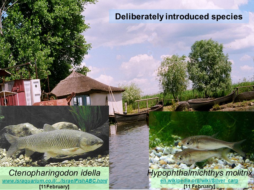 Hypophthalmichthys molitrix en.wikipedia.org/wiki/Silver_carp [11 February] Ctenopharingodon idella www.israquarium.co.il/.../IsraelFishABC.html [11February]
