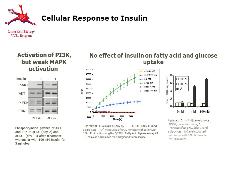 Liver Cell Biology VUB, Belgium Cellular Response to Insulin Activation of PI3K, but weak MAPK activation Phosphorylation pattern of AKT and ERK in qHSC (day 2) and aHSC(day 13) after treatment without or with 100nMinsulin for 5 minutes.