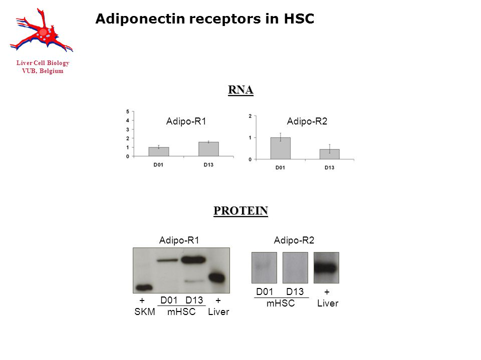 Liver Cell Biology VUB, Belgium Adiponectin receptors in HSC RNAPROTEIN Adipo-R1Adipo-R2 D01 D13 + mHSC Liver Adipo-R2 + D01 D13 + SKM mHSC Liver Adipo-R1