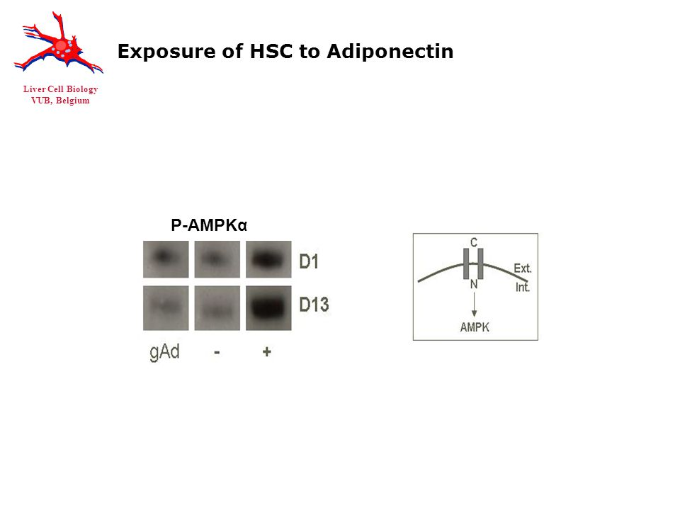 Liver Cell Biology VUB, Belgium Exposure of HSC to Adiponectin P-AMPKα