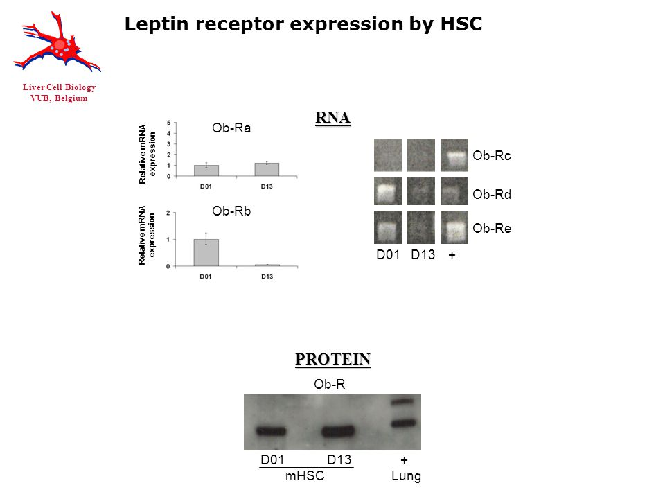 Liver Cell Biology VUB, Belgium RNAPROTEIN Leptin receptor expression by HSC D01 D13 + Ob-Rc Ob-Rd Ob-Re Relative mRNA expression Ob-Ra Ob-Rb Relative mRNA expression D01 D13 + mHSC Lung Ob-R